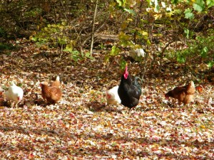 Chickens in our yard last fall